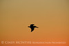 Pelican at sunset, FL (6)
