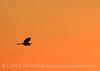 Great egret at sunset, FL