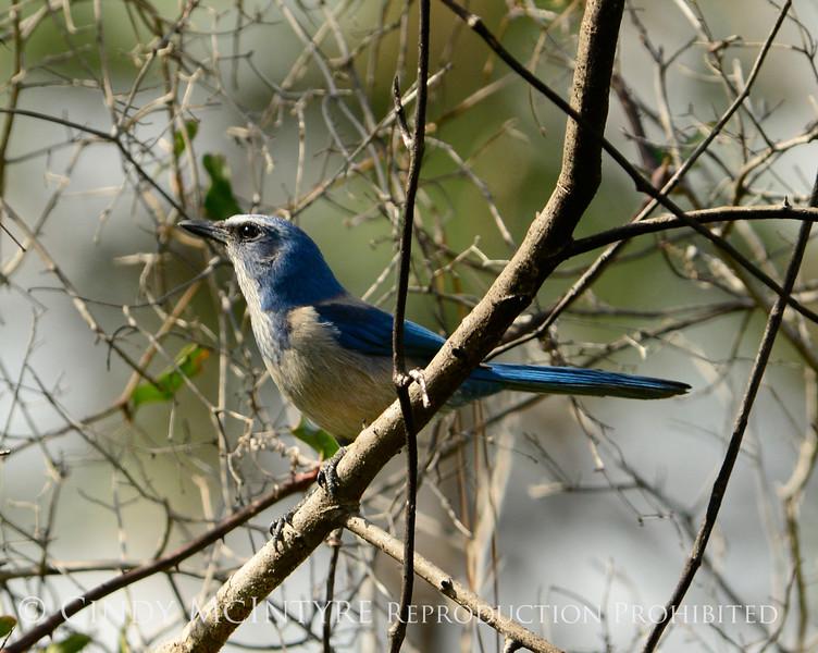 Florida Scrub Jay, Titusville, FL (1)