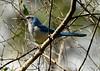 Florida Scrub Jay, Titusville, FL (2)