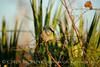 Florida Scrub Jay, Titusville, FL (7)