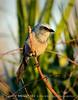 Florida Scrub Jay, Titusville, FL (9)