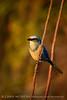 Florida Scrub Jay, Titusville, FL (19)