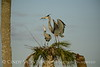 Great Blue Herons nesting, Viera FL (149)