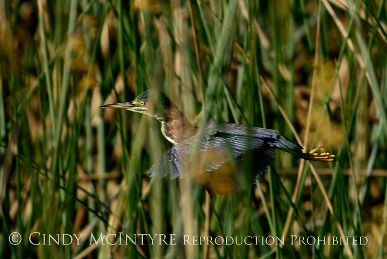 Green heron flying, Viera Wetlands FL (2)