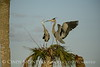 Great Blue Herons nesting, Viera FL (147)