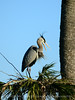Great Blue heron on nest tree, Viera Wetlands FL (1)
