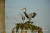 Great Blue Herons nesting, Viera FL (148)