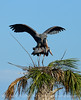 Great Blue Herons nesting, Viera FL (40)