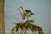 Great Blue Herons nesting, Viera FL (153)