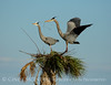Great Blue Herons nesting, Viera FL (54)