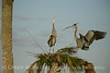 Great Blue Herons nesting, Viera FL (145)