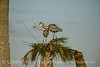 Great Blue Herons nesting, Viera FL (156)