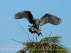 Great Blue Herons nesting, Viera FL (47)