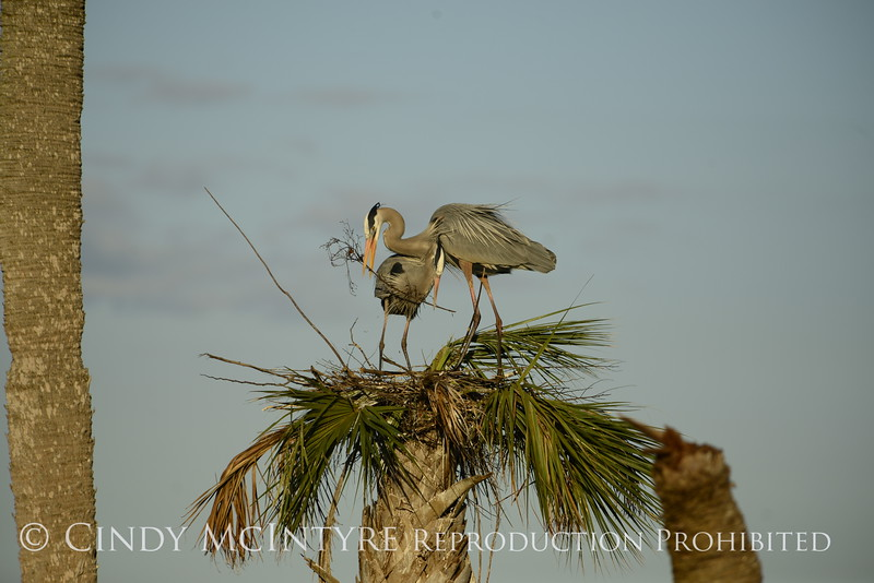 Great Blue Herons nesting, Viera FL (158)