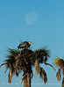 Great blue heron nest and moon, Viera FL