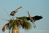 Great Blue Herons nesting, Viera FL (63)