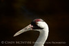Whooping Crane, Homosassa Springs SP FL (3)