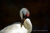 Whooping Crane, Homosassa Springs SP FL (12)