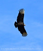 Black vulture soaring, FL (1)