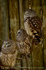 Barred Owls, Homosassa Springs SP Fl (12)