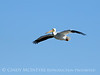 White pelican in flight, Viera Wetlands FL (1)