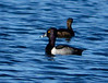 Ring-necked ducks, Viera Wetlands FL (1)