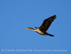 Double-crested cormorant, Viera Wetlands FL
