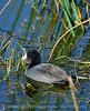 American Coot, Viera Wetlands FL (1)