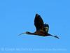 Glossy ibis imm, Viera Wetlands FL (7)