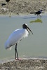 Wood Stork, Viera Wetlands FL (32)