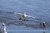 White pelican in flight, Viera Wetlands FL (18)