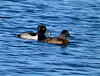 Ring-necked ducks, Viera Wetlands FL (2)