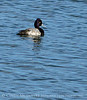 Lesser Scaup male, Viera FL