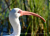 White ibis, Viera Wetlands FL (3)