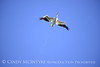 White pelicans in flight, Viera Wetlands FL (7)