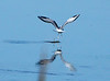 Bonaparte's Gull, Viera Wetlands FL