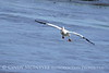 White pelican in flight, Viera Wetlands FL (15)