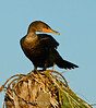 Double crested cormorant, Viera FL (4)