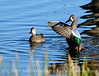 Blue-winged teals, Viera Wetlands FL (4)