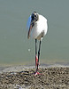 Wood Stork, Viera Wetlands FL (38)