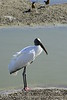 Wood Stork, Viera Wetlands FL (36)