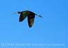 Glossy ibis imm, Viera Wetlands FL (10)