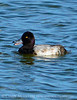 Lesser Scaup male, Viera Wetlands FL
