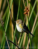 Yellow-rumped warbler, Viera Wetlands FL (1)
