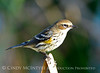 Yellow-rumped warbler winter, Viera FL (2)