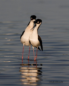 08-VG4959 Black-necked Stilts