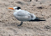 Royal Tern, FL (1)