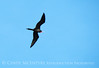 Magnificent Frigatebird, Progreso Mexico (1)
