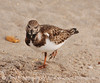 Ruddy Turnstone, FL (12)